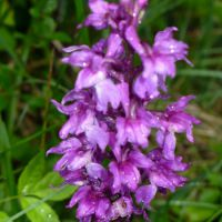 Orchis Male